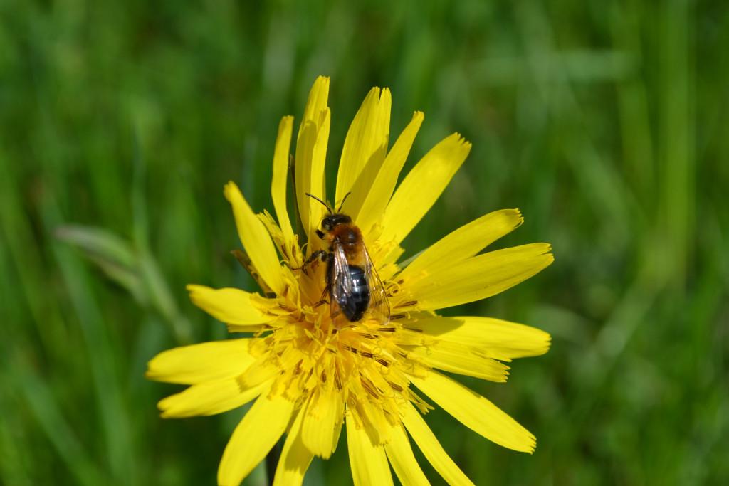 abeille-solitaire
