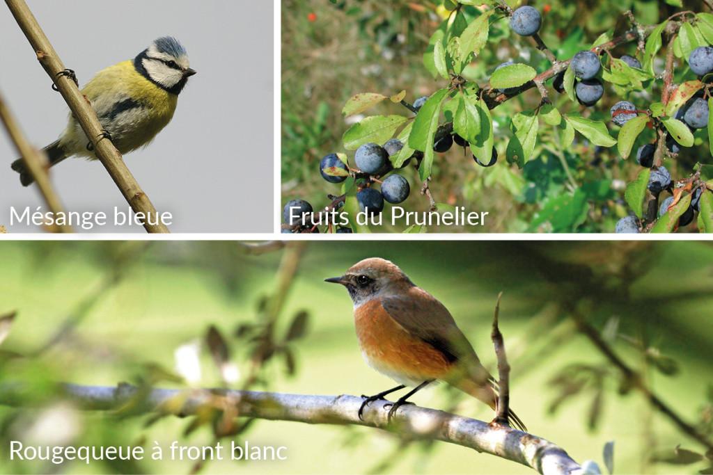 1-oiseaux_prunus