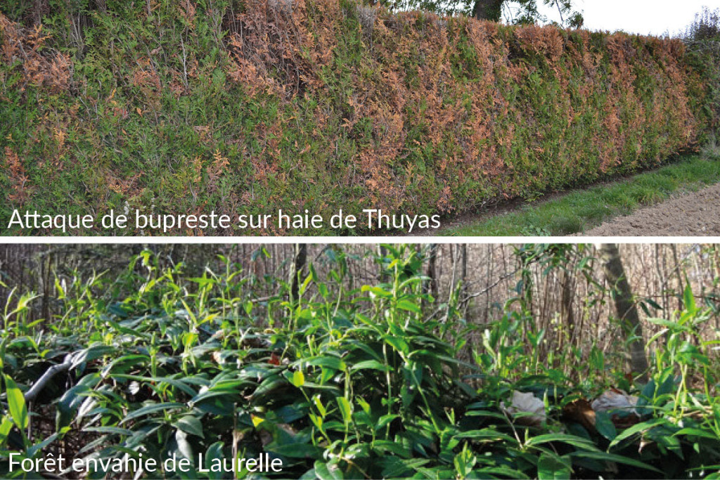 3-thuyas-laurelle